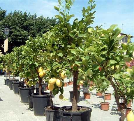 Festa degli agrumi a fiesole fi le foto dell evento for Albero limoni in vaso