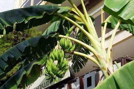 puglia un albero di banane fruttifica rigogliosamente a lecce