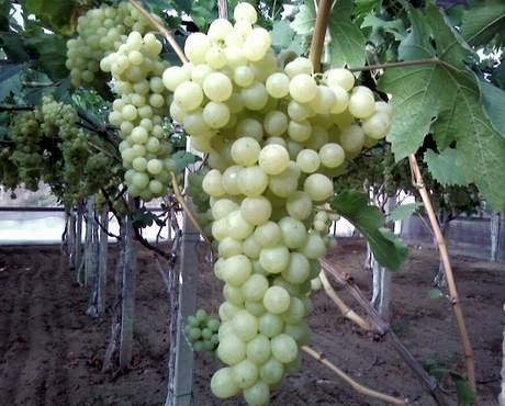 Spatarfrutta uva da tavola siciliana dal 1977 - Uva da tavola di mazzarrone ...