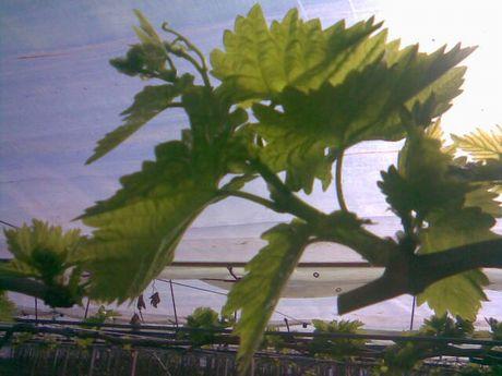 Mola di bari gia 39 venduta la prima uva precoce - Uva da tavola precoce ...
