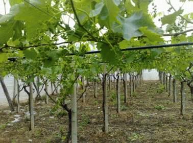 Il marocco guarda con interesse alla produzione di uva da tavola pugliese - Uva da tavola precoce ...