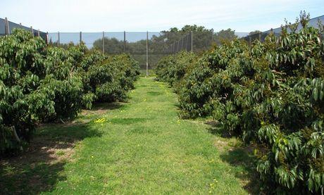 Cupitur frutta tropicale di sicilia for Avocado coltivazione