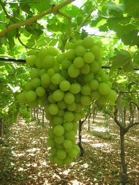 Puglia parte la stagione dell 39 uva da tavola bio presso il - Uva da tavola puglia ...