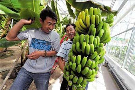 Pechino primo festival del raccolto delle banane for Albero di banane