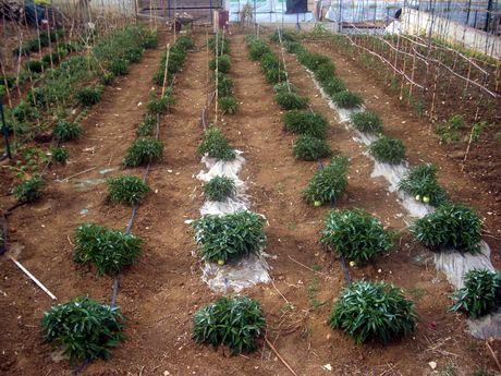 Sicilia coltivazione di melone pepino in provincia di trapani for Melone coltivazione