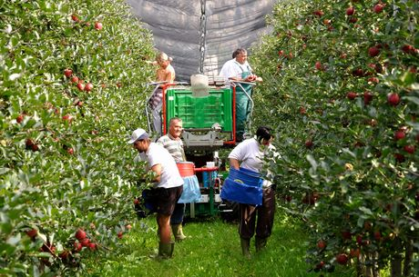 Bolzano: e\' partita la raccolta delle mele venostane