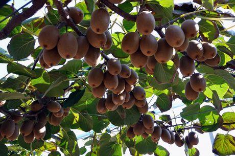 L 39 appello del consorzio kiwigold produttori di kiwi di for Pianta kiwi prezzo