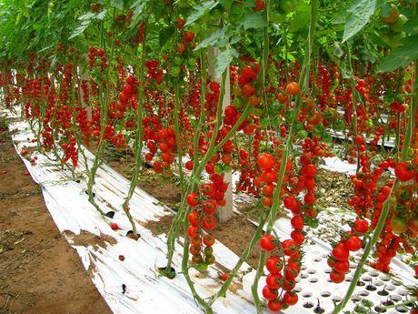 Pomodoro il potatore for Piantine ortaggi