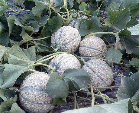 Piu 39 tecnologia nelle serre cosi 39 la cooperativa agricola for Melone coltivazione