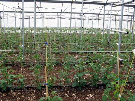 Puglia in raccolta le prime produzioni sperimentali di for Piante di lamponi acquisto
