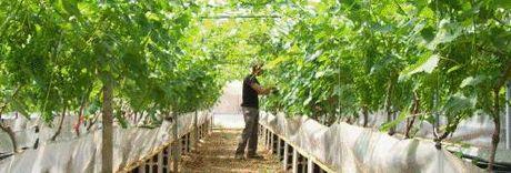 Coltivazione idroponica dell uva da tavola potenzialita - Uva da tavola coltivazione ...