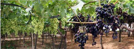 Puglia al via a fine giugno la commercializzazione 2010 dell 39 uva da tavola - Uva da tavola precoce ...