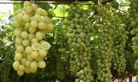Puglia al via a fine giugno la commercializzazione 2010 - Uva da tavola puglia ...