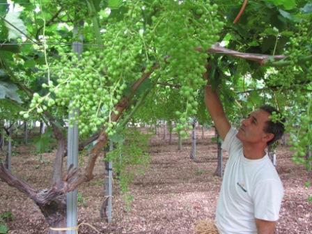 Il punto sullo stato vegetativo dell 39 uva da tavola apulia seedless per la campagna 2010 - Uva da tavola puglia ...