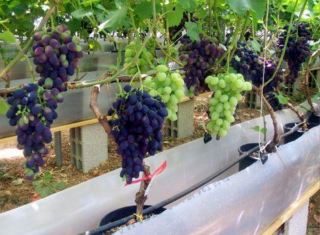Giunge a raccolta la prima uva idroponica pugliese - Uva da tavola coltivazione ...