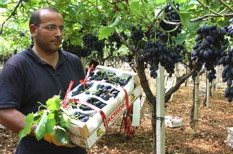 Migliora l 39 offerta pugliese di uva da tavola precoce e senza semi - Uva da tavola precoce ...