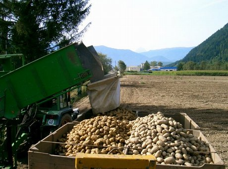 A fine agosto in alto adige comincia la raccolta delle for Raccolta patate