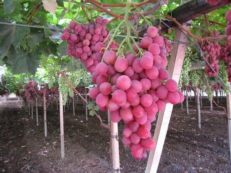 Uve da tavola prodotte in puglia sino alla prima decade di agosto - Uva da tavola precoce ...