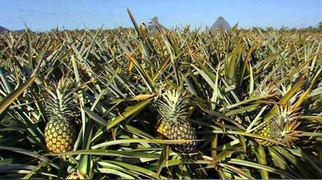 Dall 39 australia un super ananas con dose doppia di vitamina - Pianta ananas ...