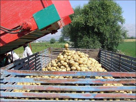La patata a pasta gialla di avezzano irrompe sul mercato e for Raccolta patate