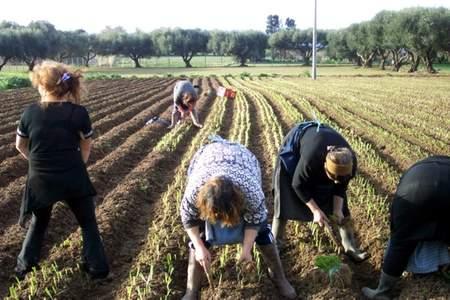 Le cipolle: come si coltivano dalla semina alla raccolta