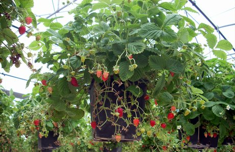 L 39 impresa paolo regina di marsala tp porta sui mercati for Vasi per fragole