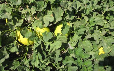 Medhermes sementi chiude con ottimi risultati la campagna for Pianta di melone
