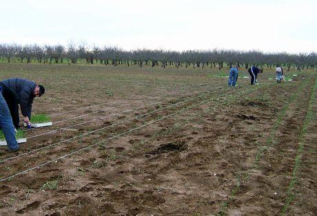Acquaviva delle fonti ba al via la semina della for Semina cipolle