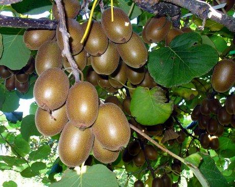 soreli una valida alternativa per la produzione di kiwi