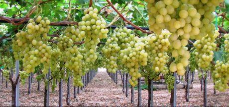 Casa moderna roma italy piantare uva da tavola - Potatura uva da tavola ...