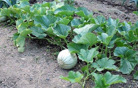 Scheda prodotto il melone for Pianta di melone
