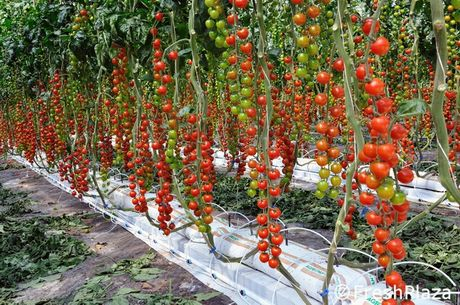 How To Prevent Diseases In Tomato Crop
