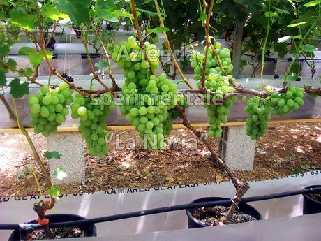 Puglia la coltivazione idroponica dell 39 uva da tavola - Uva da tavola coltivazione ...