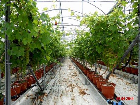 Incontro e visita guidata al centro pilota per la - Uva da tavola coltivazione ...