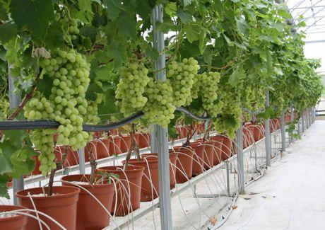 Resoconto fotografico delle visite tecniche in sicilia e in puglia novita 39 per il settore dell - Uva da tavola precoce ...