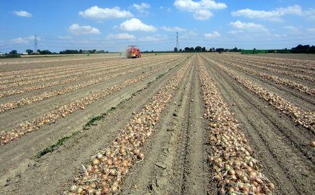 Resoconto della giornata isi sementi sulla cipolla a for Semina cipolle