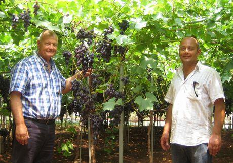 Uva da tavola precoce in puglia si anticipa la raccolta grazie ai prodotti biolchim - Uva da tavola puglia ...