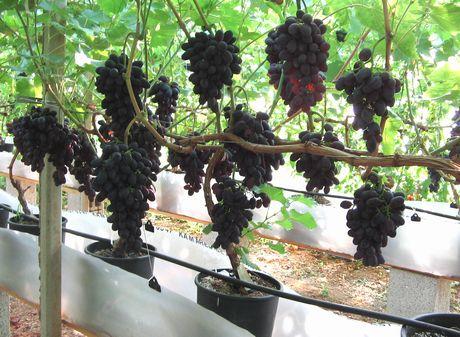 Rutigliano ba prima raccolta di uva black magic coltivata senza suolo - Uva da tavola precoce ...