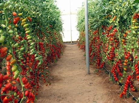 L 39 italiano lobello della esasem e 39 uno dei pomodori dell for Trapianto pomodori