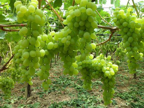 La stagione dell 39 uva da tavola di grottaglie ta riparte - Uva da tavola coltivazione ...