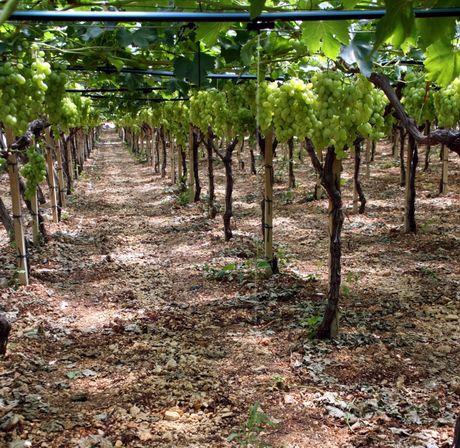 Come viene prodotta l 39 uva da tavola italiana un lungo for Irrigazione vigneto