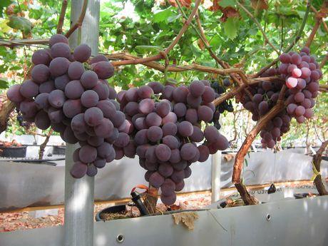 Puglia buoni risultati anche per l 39 uva red globe - Red globe uva da tavola ...