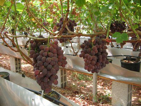 Pianta di vite in vaso pianta di uva vite innestata da for Uva fragola in vaso