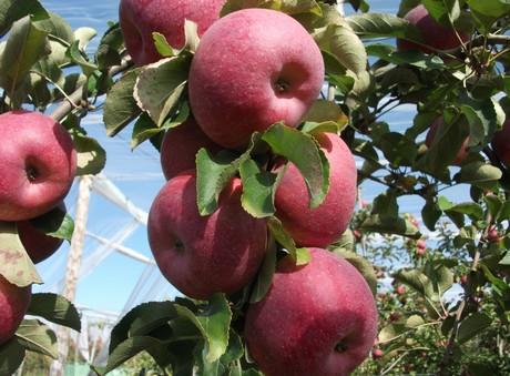 la mela bio francese juliet cresce ogni anno in popolarita 39