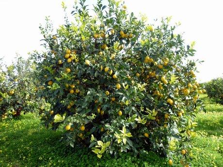 Varieta 39 di agrumi a maturazione medio tardiva e tardiva for Pianta di limone