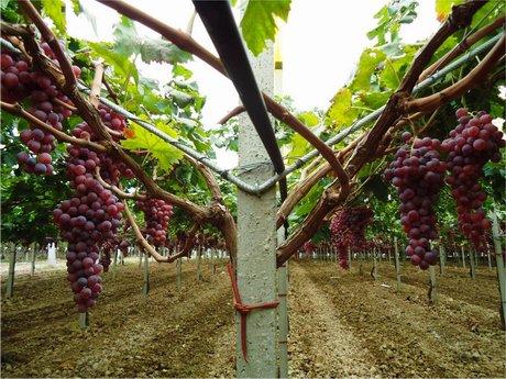 Incontro tecnico innovazioni e scelte varietali nel comparto delle drupacee e dell 39 uva da tavola - Potatura uva da tavola ...