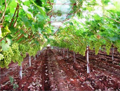 Tendone vite dispositivo arresto motori lombardini - Potatura uva da tavola ...