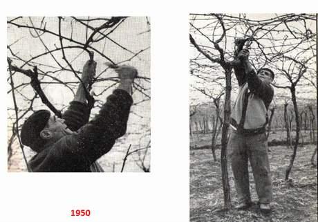 Il tendone m d c un nuovo sistema di allevamento della vite da tavola - Potatura uva da tavola ...