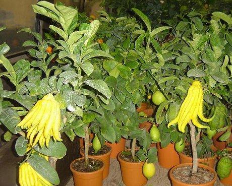 Resoconto della giornata tecnica agrumi ornamentali e for Piante di cedro vendita