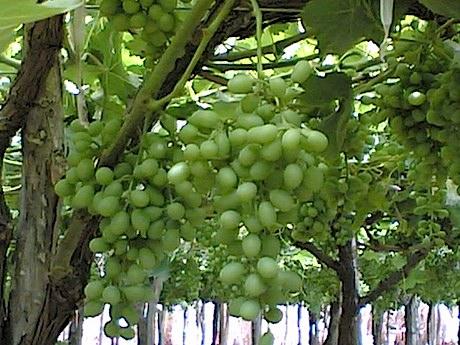 Parte la stagione di uva da tavola angurie e cipolle - Red globe uva da tavola ...